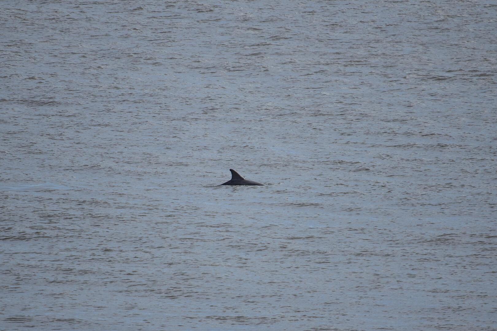 Dolphin from balcony