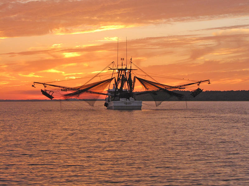 Local shrimpers bring in the catch.