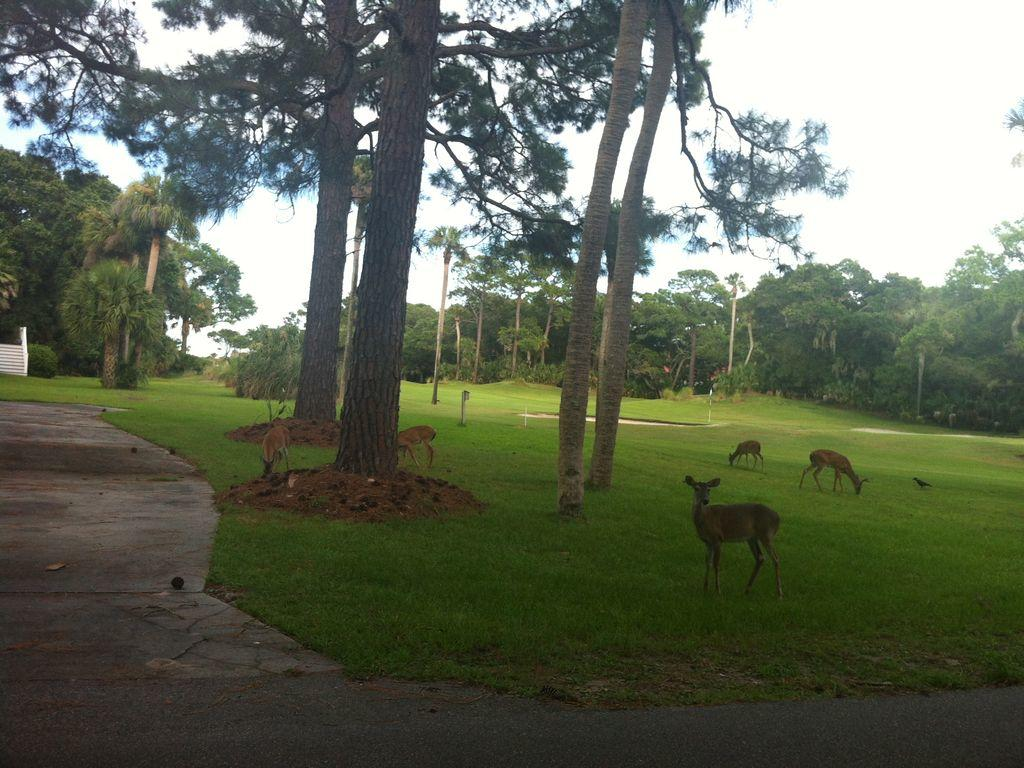 Some of the Many Deer on Fripp